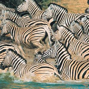 Kenya - zebras