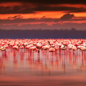 Kenya - Flamingo