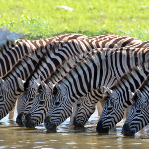 Kenya - zebra