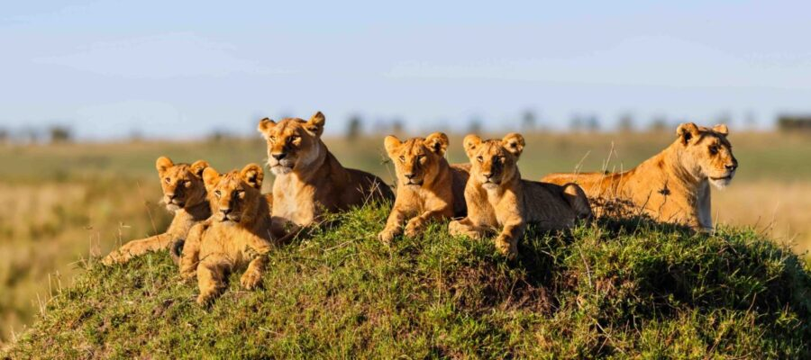 S-Two Lionesses with four cubs on a termite hill enjoy the sun in Masai Mara, Kenya